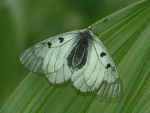 De zeldzame vlinder. Stock Afbeeldingen