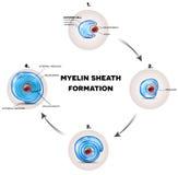 De zenuwdeklaag van de Myelinschede stock illustratie