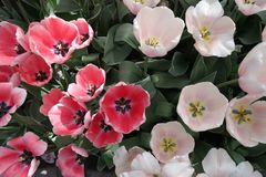 de ziel van tulpen royalty-vrije stock afbeeldingen