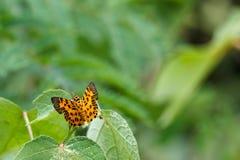 De Zigzag Vlakke (Odina-decoratus) Vlinder stock fotografie