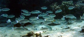 De zilverachtige school van Vissen Royalty-vrije Stock Foto