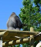 De zilveren achtergorilla's grond-blijven stilstaan, hoofdzakelijk herbivoor aap stock foto