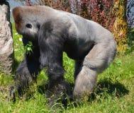 De zilveren achtergorilla's grond-blijven stilstaan, hoofdzakelijk herbivoor aap royalty-vrije stock foto's