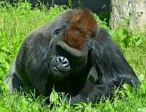 De zilveren achtergorilla's grond-blijven stilstaan, hoofdzakelijk herbivoor aap stock fotografie