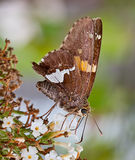 De zilveren-bevlekte Vlinder van de Kapitein Royalty-vrije Stock Fotografie