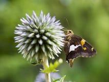 De zilveren-bevlekte Vlinder van de Kapitein stock foto's