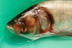 De zilveren karper van vissen in water Stock Afbeeldingen