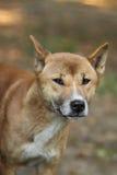 De zingende hond van Nieuw-Guinea Stock Afbeelding