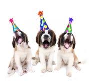 De zingende puppy van de Sint-bernard met verjaardag Stock Afbeeldingen