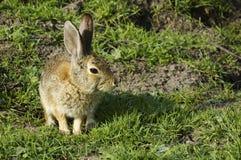 De zitting en het wachten van het konijn Stock Foto's