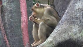 De Zitting van de aap op een Tak van de Boom stock footage