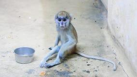 De zitting van de de aapbaby van Ð ¡ Ute in een dierentuinkooi stock videobeelden