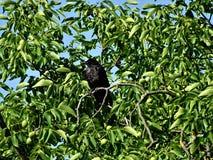 De zitting van de aaskraai in een okkernootboom stock foto