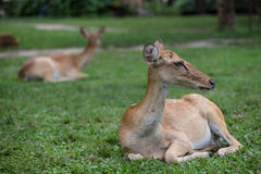 De zitting van antilopeherten op het gras Royalty-vrije Stock Foto