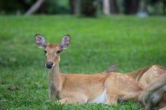 De zitting van antilopeherten op het gras stock foto's