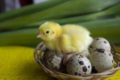 De zitting van babykwartels op eieren in een mand Pasen het concept de geboorte van het nieuw leven royalty-vrije stock fotografie