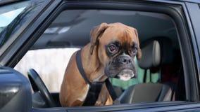 De zitting van de bokserhond op de bestuurderszetel en rond het kijken stock footage