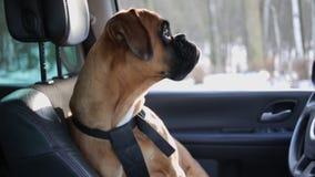 De zitting van de bokserhond op de bestuurderszetel en rond het kijken stock video
