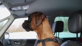 De zitting van de bokserhond op de bestuurderszetel en rond het kijken stock videobeelden