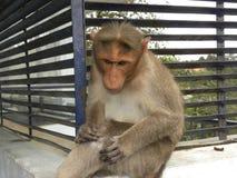 De zitting van de bonnet macaque aap bovenop een huis stock foto's