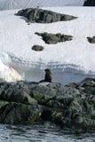 De zitting van de bontverbinding op rotsen in Antarctica stock afbeelding