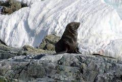 De zitting van de bontverbinding op rotsen in Antarctica stock foto