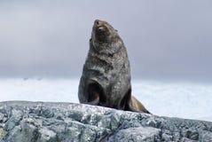 De zitting van de bontverbinding op rotsen in Antarctica royalty-vrije stock afbeeldingen