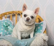 De zitting van de Chihuahuahond op stoel in studio, portret Royalty-vrije Stock Fotografie