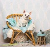 De zitting van de Chihuahuahond op stoel in studio, portret Stock Foto's