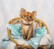 De zitting van de Chihuahuahond op stoel in studio, portret Stock Afbeelding