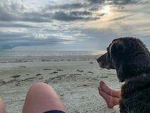 De zitting van de chocoladelabrador op strand met zijn mensen, w stock fotografie