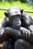 De zitting van de aap Royalty-vrije Stock Foto
