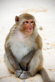 De zitting van de aap op het strand in Azië Royalty-vrije Stock Foto
