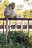 De Zitting van de aap op Omheining Royalty-vrije Stock Afbeelding