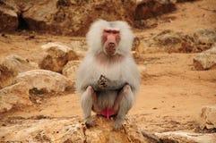 De zitting van de aap op rots en het staren Stock Foto