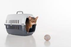 De zitting van de Abyssiniankat in de doos en het kijken uit met Stuk speelgoed bal Geïsoleerdj op witte achtergrond Stock Foto's