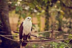 De zitting van de adelaar op een tak Royalty-vrije Stock Afbeeldingen