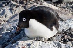 De zitting van de Adeliepinguïn in een nest met haar hoofd †‹â€ ‹ Royalty-vrije Stock Fotografie