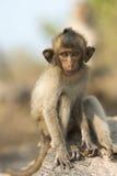 De zitting van de babyaap op een rots Stock Foto