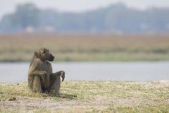 De zitting van de Baviaan van Chacma op een rivierbank, Bostswana royalty-vrije stock foto's