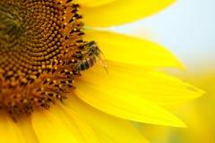De zitting van de bij op een gele zonnebloem royalty-vrije stock afbeeldingen