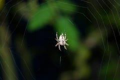 De zitting van de de bodemmening van het spininsect op zijde netto donkere achtergrond Stock Foto