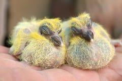 De zitting van de de nestvogelsbaby van de paarduif cheeper op hand Stock Foto's