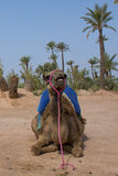 De zitting van de Dromedarkameel dichtbij Bedouin Oase Stock Afbeelding