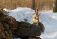 De zitting van de eekhoorn op de steen Stock Afbeelding