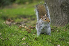 De zitting van de eekhoorn op het gras Royalty-vrije Stock Afbeeldingen