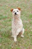 De zitting van de fox-terrierhond in het gras stock foto's
