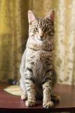 De zitting van de gestreepte katkat Royalty-vrije Stock Afbeelding