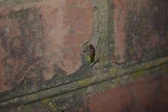 De zitting van de glimwormkever op een muur Stock Fotografie