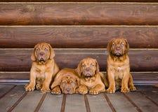 De zitting van de het puppyhond van groepsbordeaux in vooraanzicht dichtbij houten muur Royalty-vrije Stock Foto's